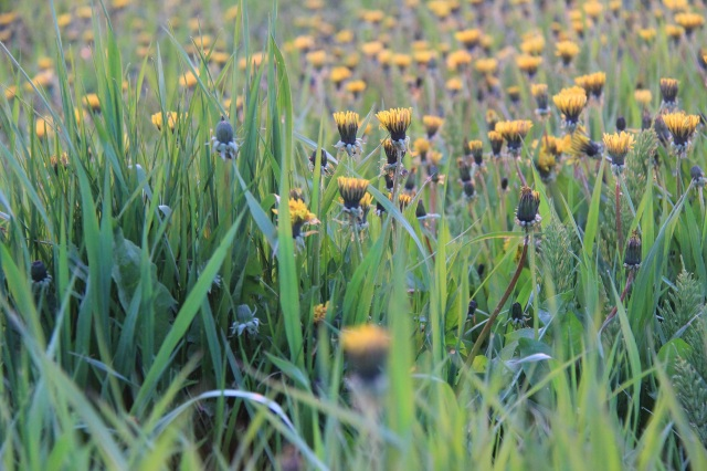 Dandelions_Land Use Planning Prep Meeting reduced